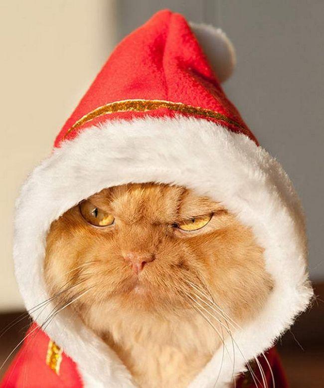 Перс на ім`я ГАРФ - найлютіший кіт у світі.