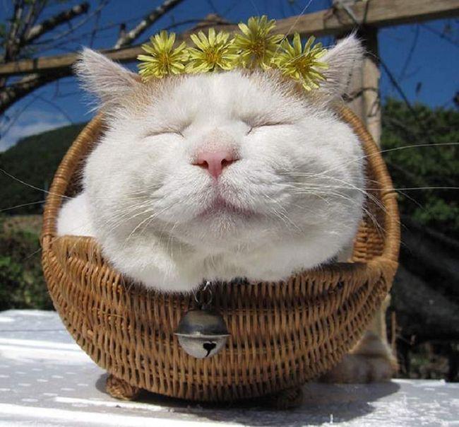 Шіронеко ще звуть самої ледачою кішкою.