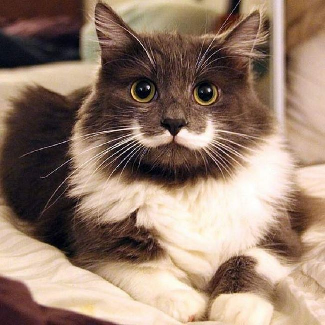 Оригінальна плямочка у вигляді вусів зробило цього котика неймовірно популярним.