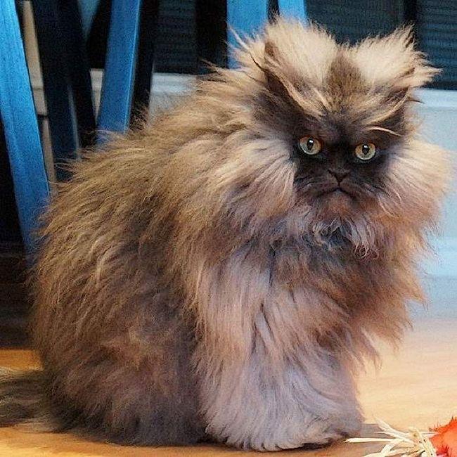Цей кіт став рекордсменом по довжині вовни, яка становить 23 сантиметри!