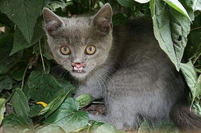 Ця котяча варіація вовчої хвороби зробила Лазаруса справжньою зіркою інтернету. Насправді, котику зовсім не до сміху, адже жити з таким дефектом, напевно, не зовсім зручно!