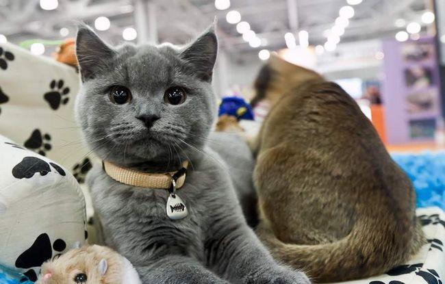 У Пскові пройде Міжнародна котяча виставка.