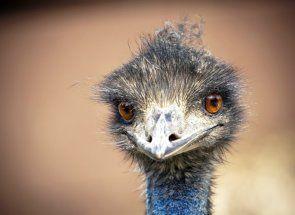 А ви знаєте, де живе страус ему?