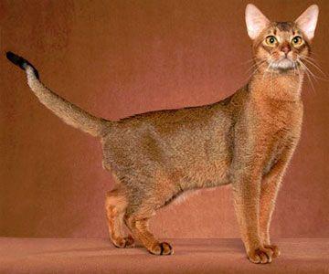 Абиссинская кішка, фото