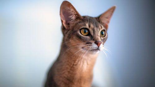 Абиссинская кішка: походження, характер і догляд