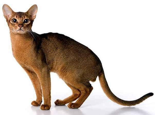 Абиссинская порода кішок