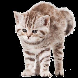 Адаптація кошеня в новому будинку