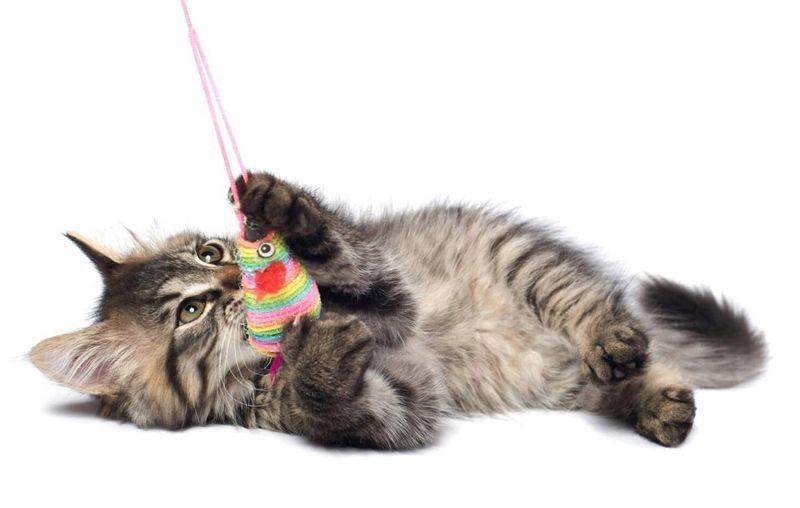 Адаптація кошеня в будинку