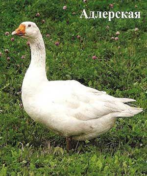 Адлерская порода гусей