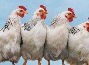 Адлерская срібляста - одна з кращих вітчизняних м`ясо-яєчних порід