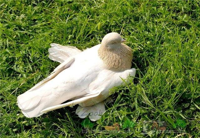 Агаран туркменські - голуби, чудові в польоті!