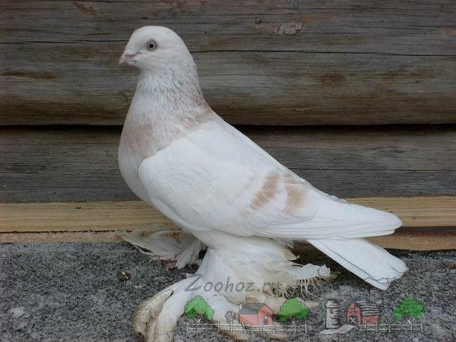 Фото бежевого білохвостого агаран