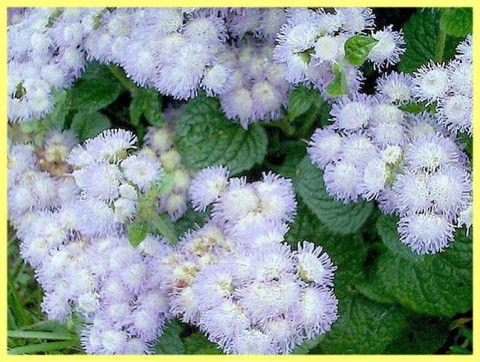 Агератум вирощування з насіння в домашніх умовах