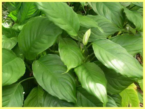 Аглаонема вирощування і догляд в домашніх умовах