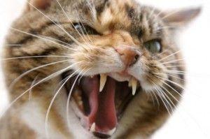 Агресія у кішок