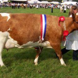 Айршірская корова - відмінне молоко і відмінне здоров`я