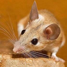 Акоміс: утримання та догляд за голчастим мишами