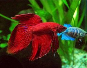 Акваріумна рибка півник: яка сумісність з іншими рибками? Що робити, щоб рибки не конфліктували?