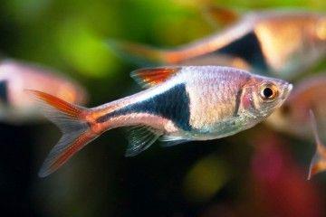 Акваріумна рибка расбора клінопятністая