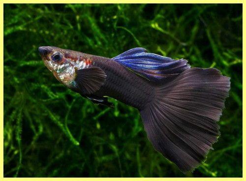 Акваріумні рибки фото з назвами і описом
