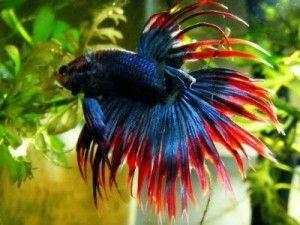 рибки петушкі2