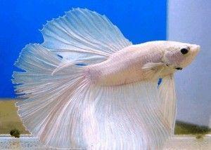 рибки півник
