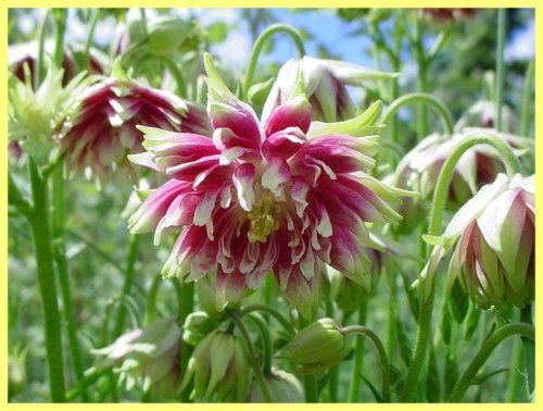 Аквілегія вирощування з насіння фото