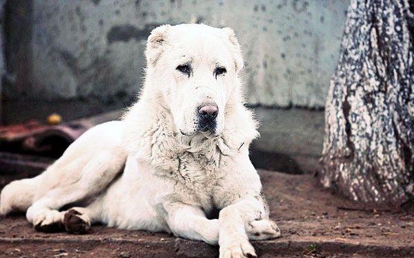 Алабай: опис породи і нюанси за змістом собаки