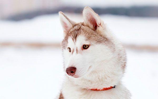 Аляска маламут: справжній домашній вовк