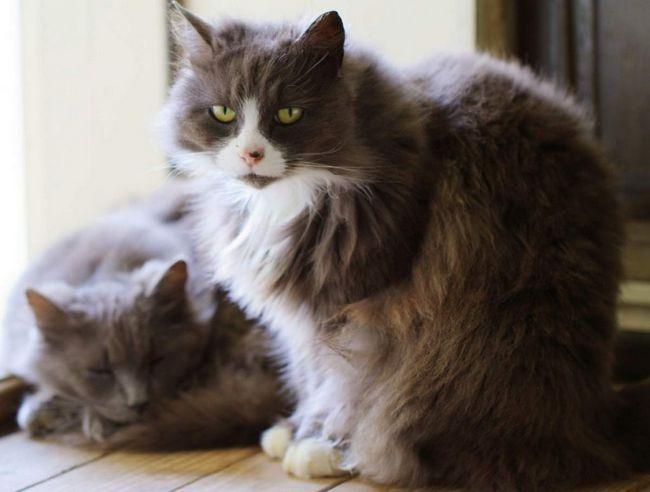 При будь-якому вигляді дерматиту у вашої кішки можуть розвиватися бактеріальні та грибкові запалення.