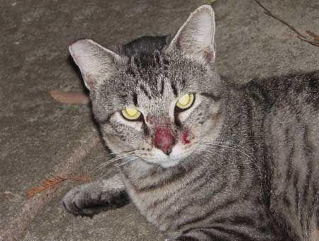 Алергія на укуси комарів у кішки