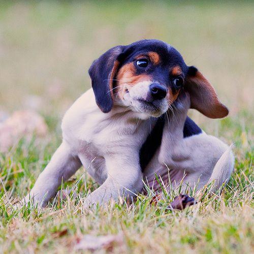 Алергія у собаки