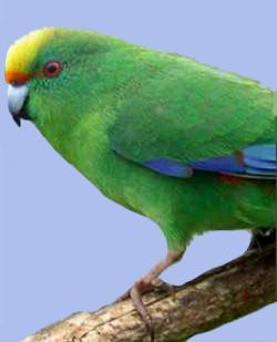 Альпійсій папужка таітянскійcyanoramphus malherbri.