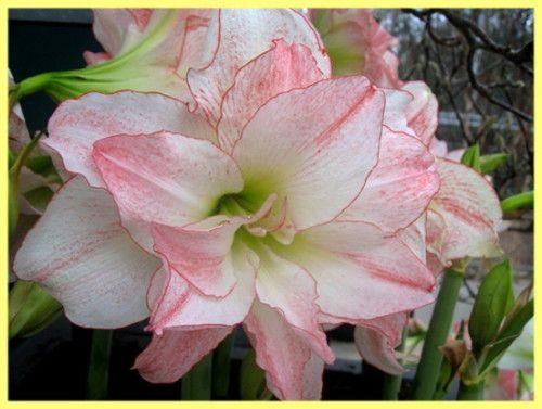 Амариліс вирощування і догляд: фото і опис рослини
