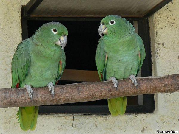 Амазон мюллераamazona farinosa