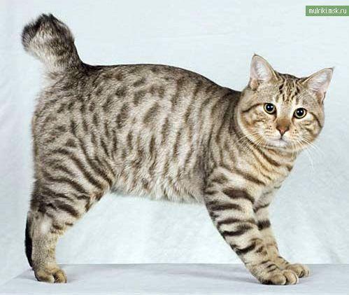 Американський бобтейл, американський бобтейл порода кішки