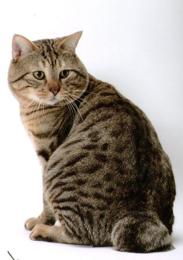 Як і будь-яка кішка, американський бобтейл потребує належному догляді