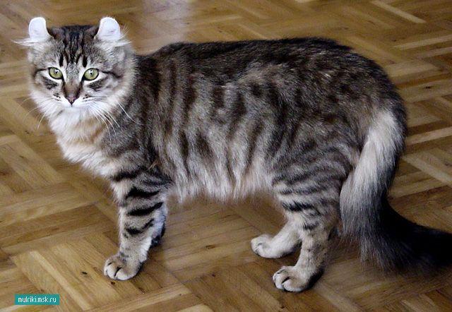 Американський керл, американський керл порода кішки