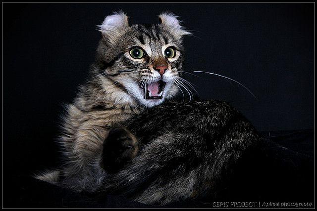Американський керл - напівдовгошерстий кіт