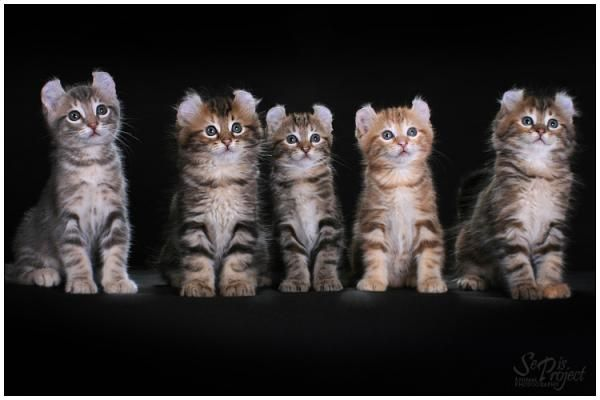 Кошенята породи Американський Керл