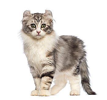 американський керл фото кішки
