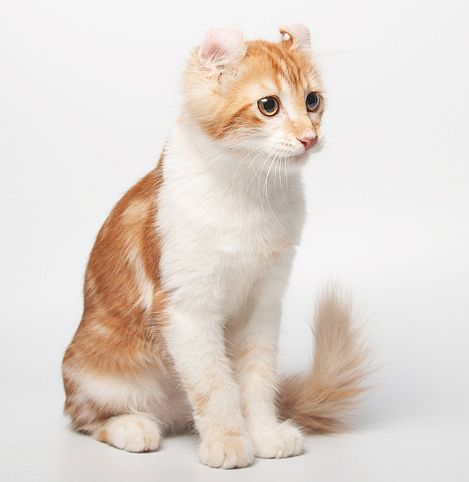 Порода кішок американський керл
