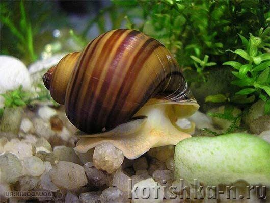 Ампулярия, особливості змісту і розмноження в акваріумі