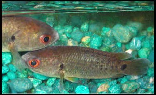 Анабас, або риба-повзун