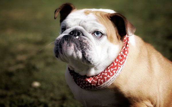 Англійська бульдог: доброзичливий пес з англійськими манерами