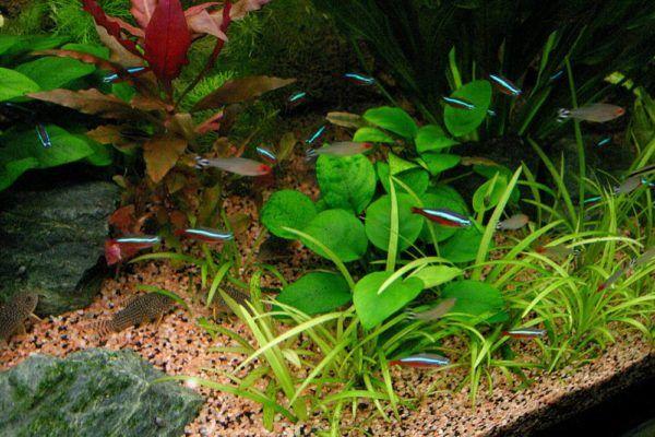 Анубиас - тропічна рослинність в акваріумі
