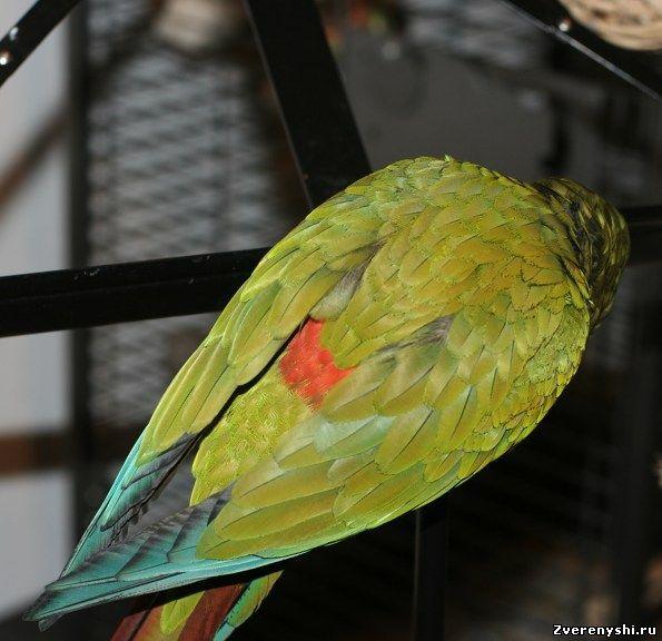 Ара красноспінний (ara maracana)