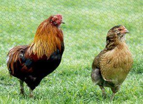 Араукана - екзотичні курочки, які несуть кольорові яйця
