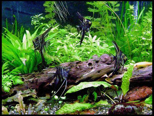 Асфіксія у акваріумних риб