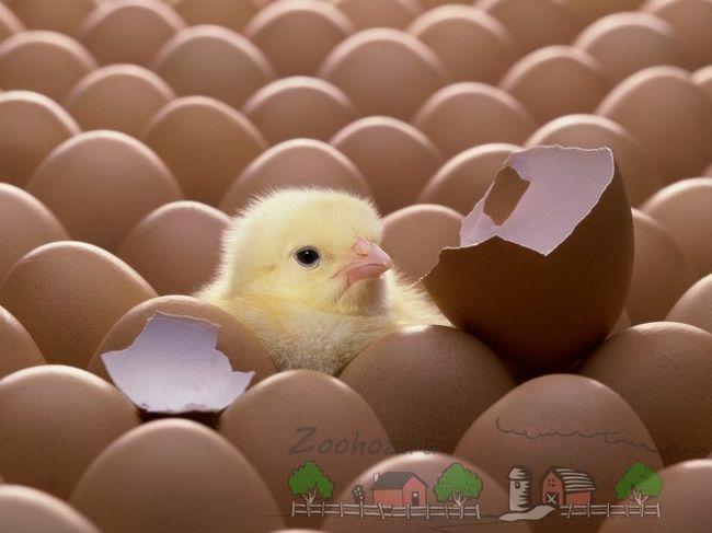 Курча вилупився з яйця фото